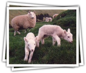 Cheviot ewe and young twins